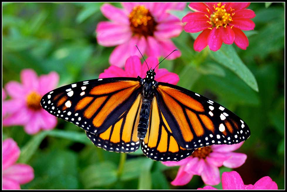 42-Monarch-female-on-zinnia