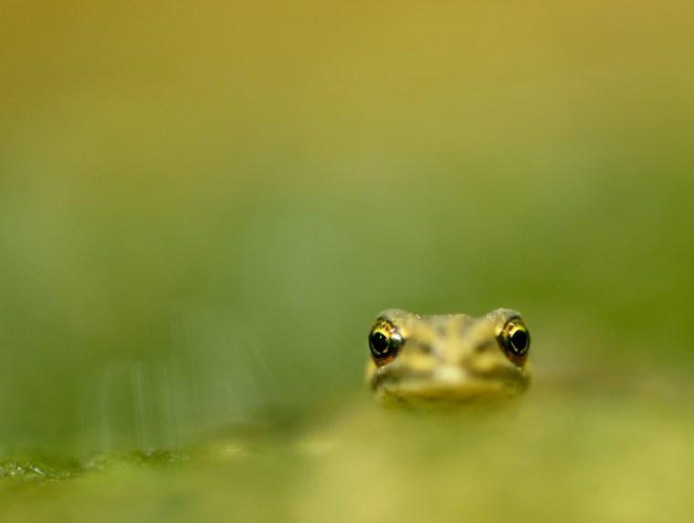 En lille salamander stikker hovedet frem