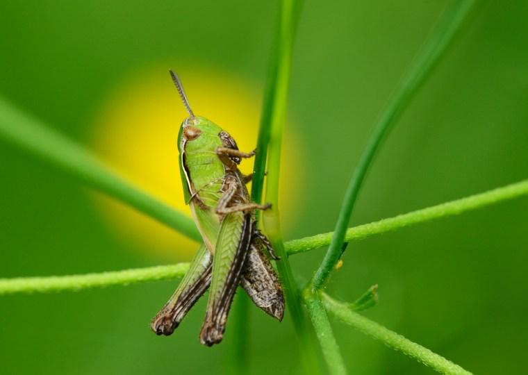 Græshoppe på strå, tip til makrofoto ved Mikkel Jezequel.