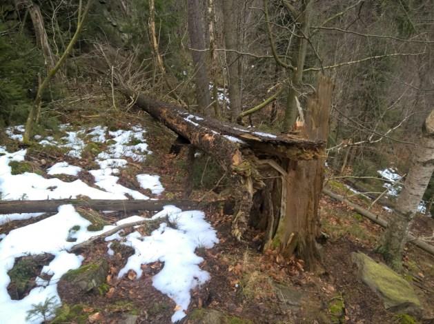 Umgestürzte Fichte. Die Natur ist gnadenlos.