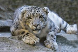 snow-leopard-1006542_960_720