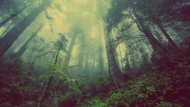 Ein nebelverhangener Wald. Die Laub- und Nadelbäume sind teilweise nur schwer zu erkennen. Nebel wabert durch die Szenerie.