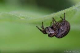 Springspinne (Sitticus floricola)