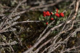 Becherflechte (Cladonia spec.)