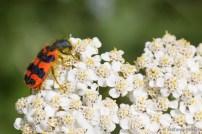 Zottiger Bienenkäfer (Trichodes alvearius)