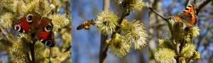 Salix bi fjärilar3