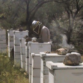 Att producera varroatåliga bin ur en lokal bipopulation