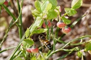 Bi i blåbärsblom