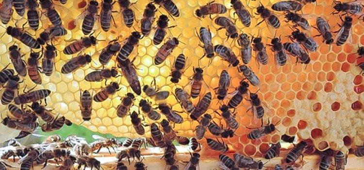 Kamp för honungsbinas överlevnad