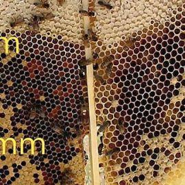 Darwinistisk biodling, cellstorlek och livskraft