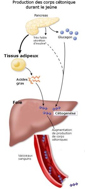 Image 3_physiologie jeûne