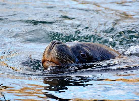 seal-sea-lion-robbe-mammal-preview