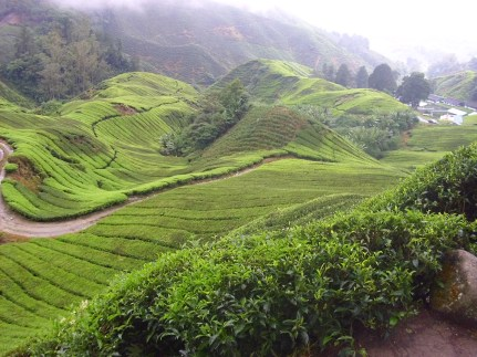 Teeplantage im Hochland