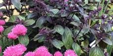 Pink-purloeg-Basilikum-450
