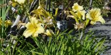 Daglilje-Hemerocallis-lilioaspodelus-2-450