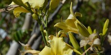 Daglilje-Hemerocallis-lilioaspodelus-4-450