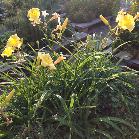 Daglilje-Hemerocallis-lilioaspodelus-5-450