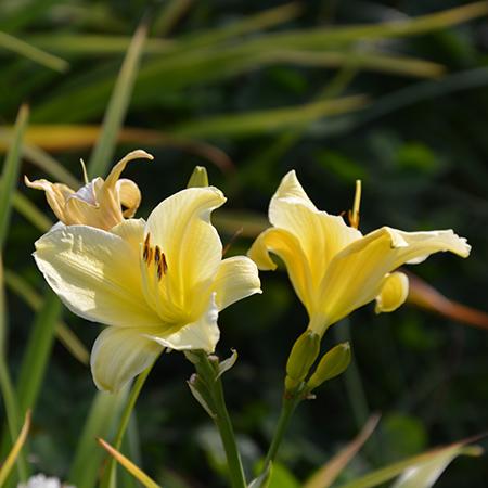Daglilje-Hemerocallis-lilioaspodelus-7-450