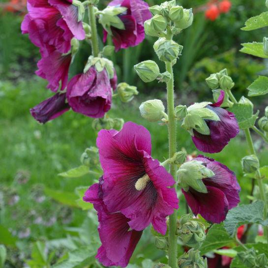 Alcea rosea Havestokrose