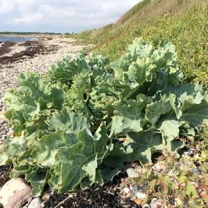 Workshop om spiseligt strandbed @ Naturplanteskolen | Hedehusene | Danmark