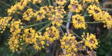 Foeniculum vulgaris Bronzefennikel