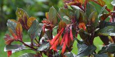 Fuchsia triphylla Champagnefuchsia