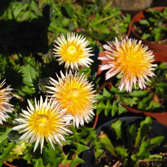 Taraxacum pseudoroseum Lyseroed maelkeboette