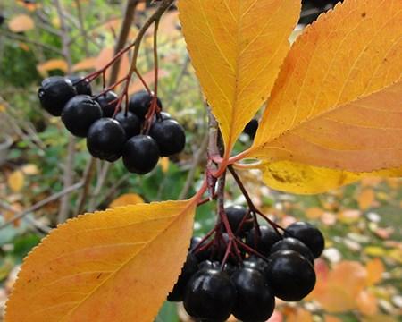 Aronia/Surbær fra Naturplanteskolen