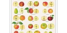 Smagfulde-æbler-plakat-450