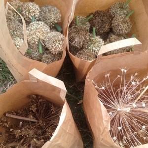 Lær at høste dine egne frø @ Naturplanteskolen | Hedehusene | Danmark