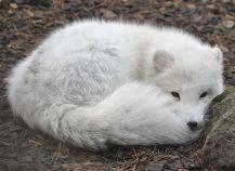 Polarfuchs (C) quartl @wikimedia