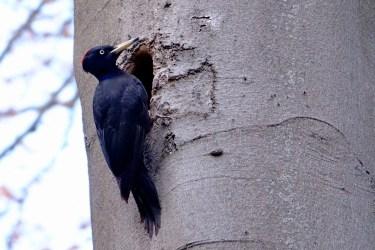 Schwarzspecht Vogel Spechtvögel