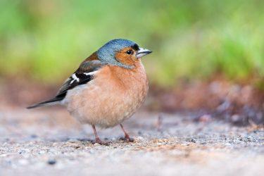 buchfink vogel naturschutzgebiet deutschland