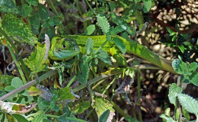 Smaragdeidechse im Naturschutzgebiet Lacerta bilineata