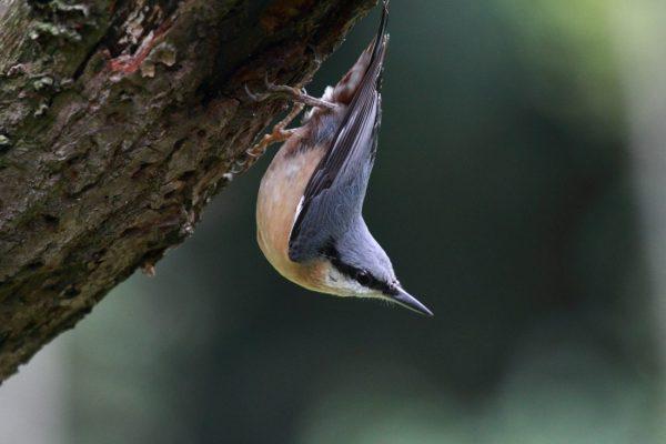 kleiber vogel am baum