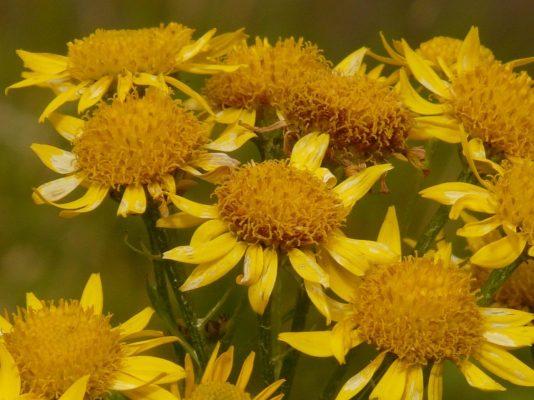 arnika pflanze
