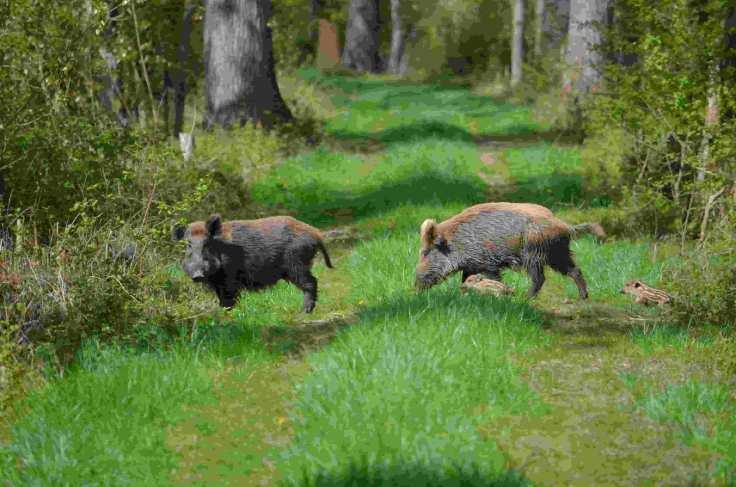 nsg kühkopf knoblochsaue wildschweine