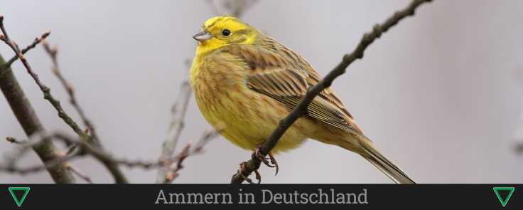 Ammern in Deutschland