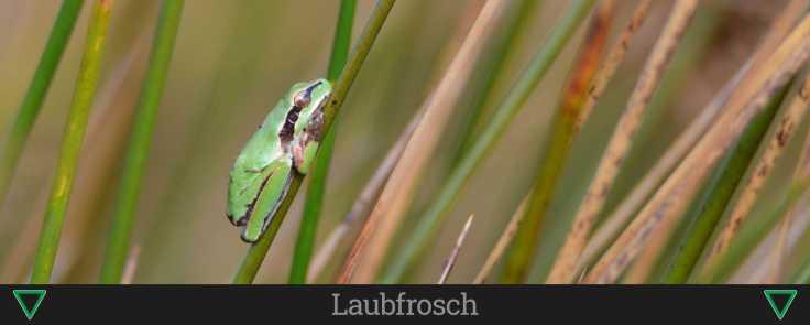 Laubfrosch