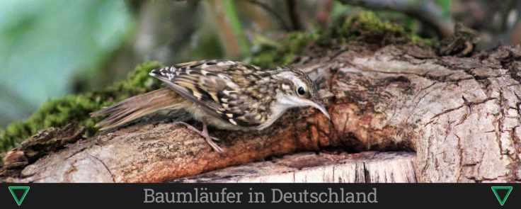 Baumläufer in Deutschland