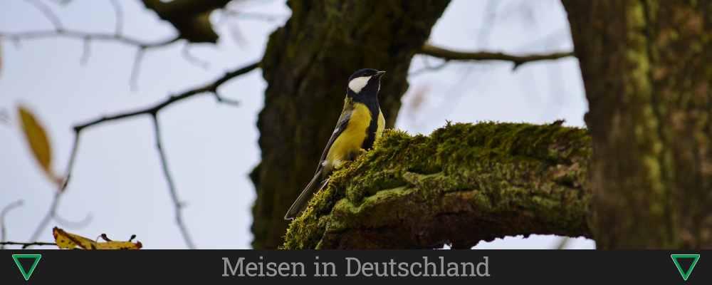 Meisen in Deutschland