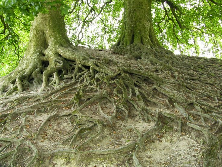 Oude bomen zijn kwetsbaar voor natuurgraven