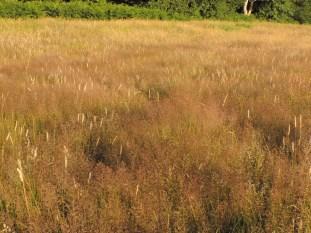 vegetatie van struisgrassen