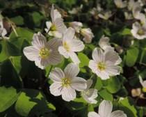 bloemen klaverzuring (8)