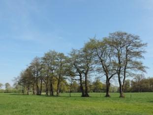oude elzen rij