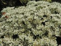 bloemen berenklauw (12)