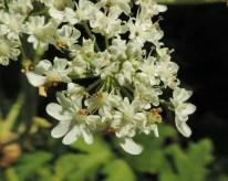 bloemen berenklauw (8)