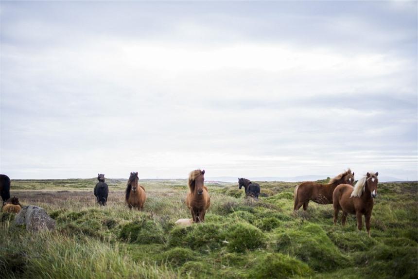 invloed van actief stalsysteem op ijslandse paarden