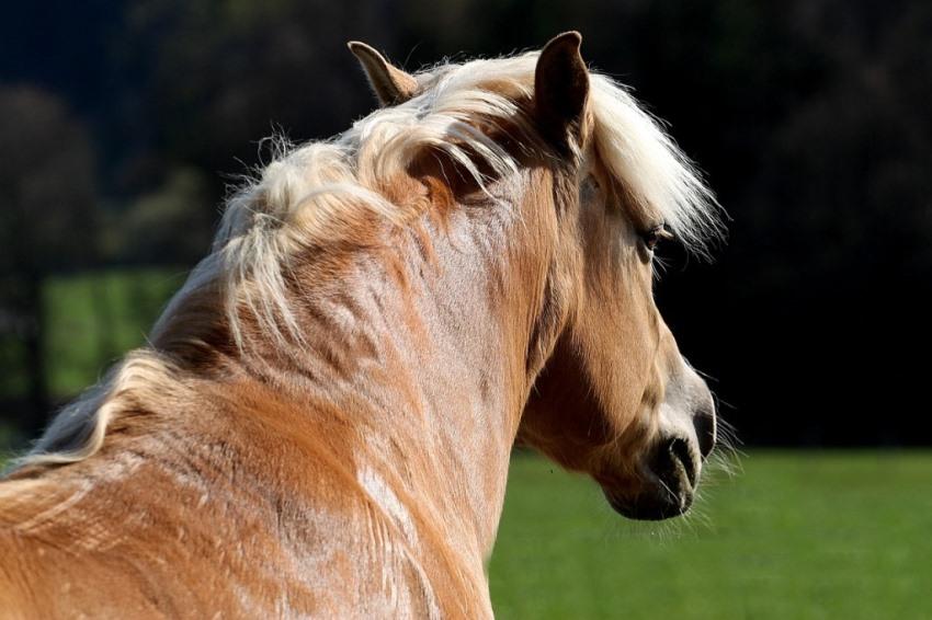 signalen van hoefbevangenheid ppid bij paarden