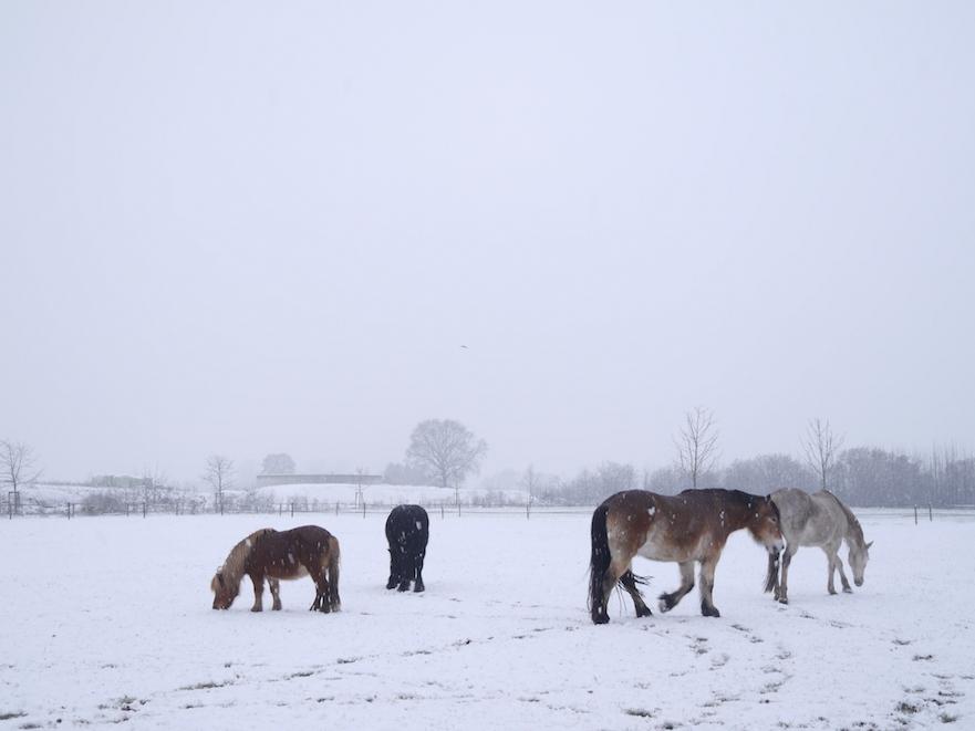 paarden van stephanie freriks in de sneeuw
